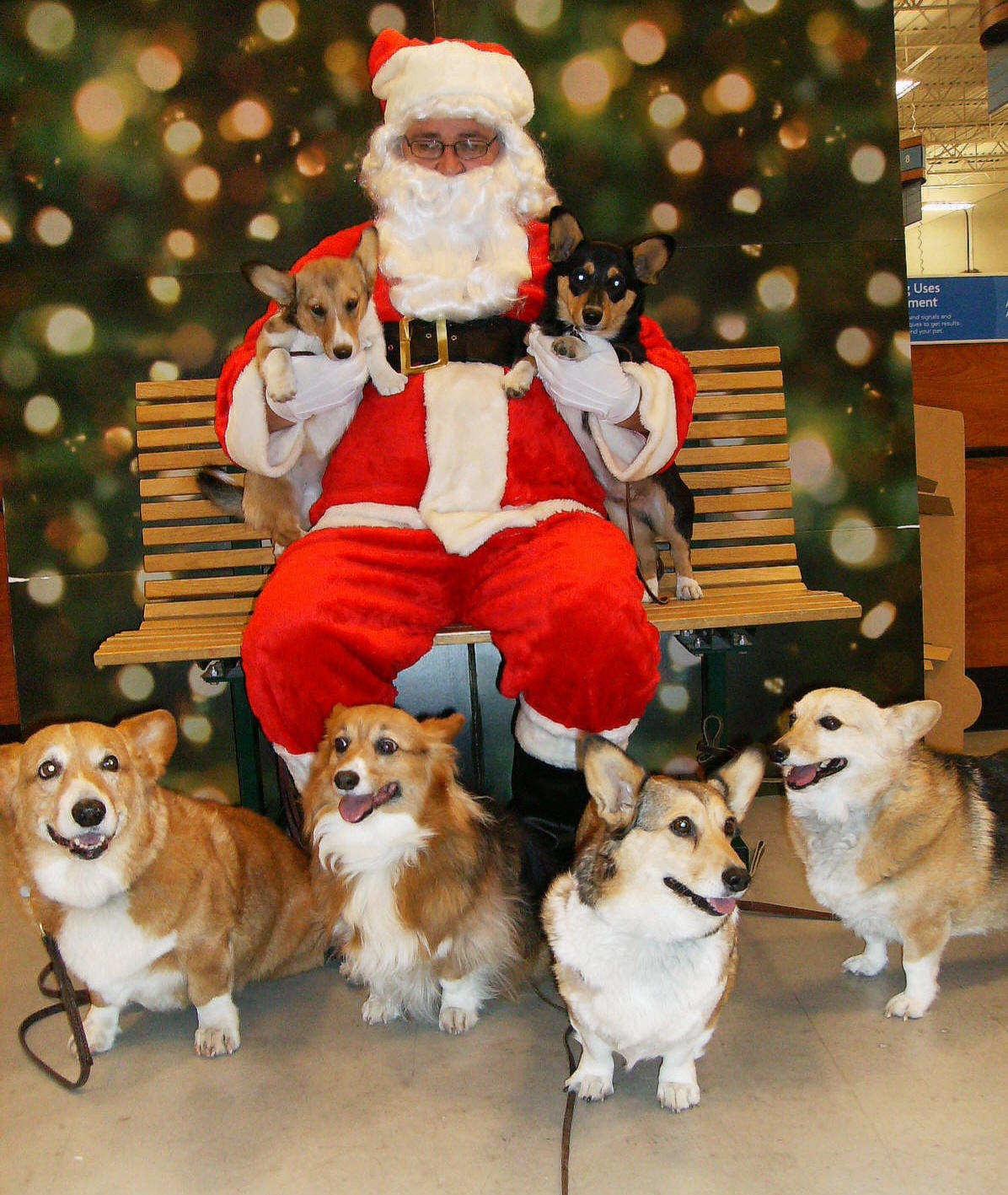 christmas corgis xmas corgis 1 - Christmas Corgi